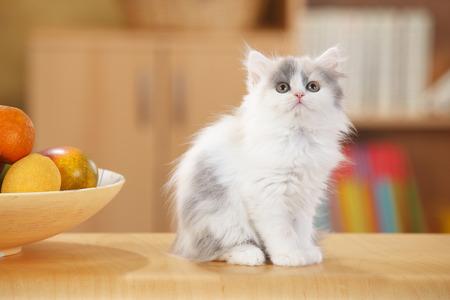 British Longhair,kitten,looking up