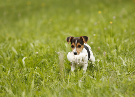 Germany,Baden-Wuerttemberg,Jack Russel Terrier puppy carrying soft toy