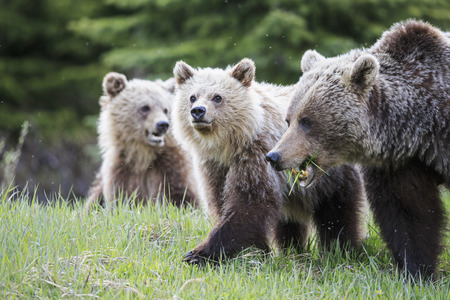 Canada, Alberta, Jasper and Banff National Park, Grizzly bears, mother with young animals LANG_EVOIMAGES