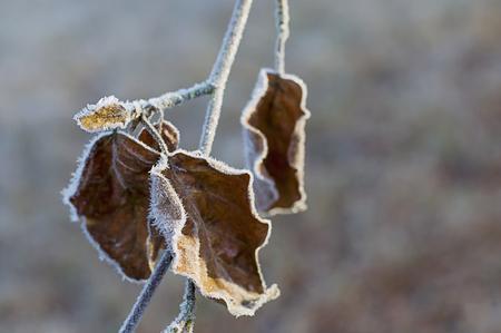 Frozen autumn leaves hanging at twig LANG_EVOIMAGES