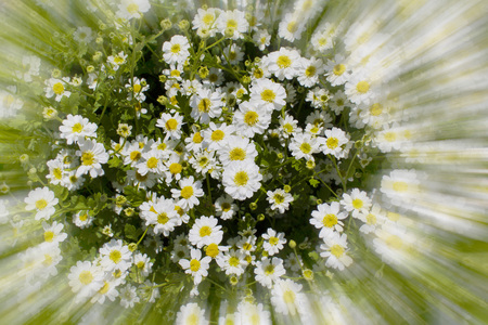 Germany, Rhineland-Palatinate, Marguerite (Leucanthemum maximum) LANG_EVOIMAGES