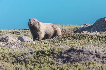 USA, Washington State, Ground hog at Mt Rainier National Park