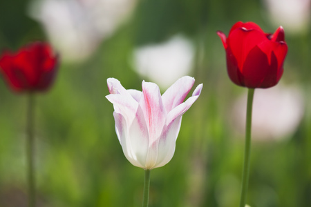 Bicoloured and red tulips (Liliaceae Tulipa) LANG_EVOIMAGES