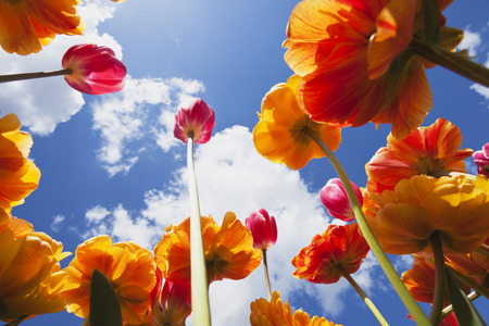 Bicoloured tulips (Liliaceae Tulipa) view from below into sky LANG_EVOIMAGES