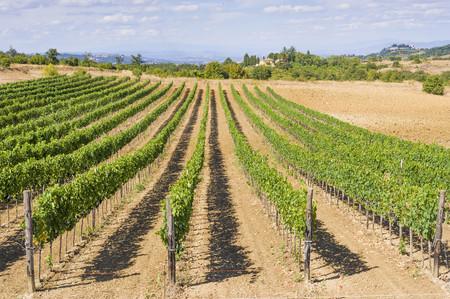 Italy, Tuscany, Val dOrcia, Pienza, Vineyard LANG_EVOIMAGES