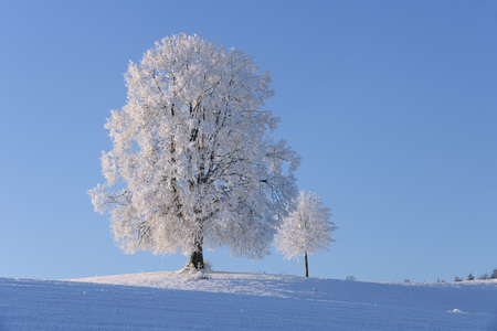 Switzerland, two frost-covered lime trees on a hill in front of blue sky LANG_EVOIMAGES