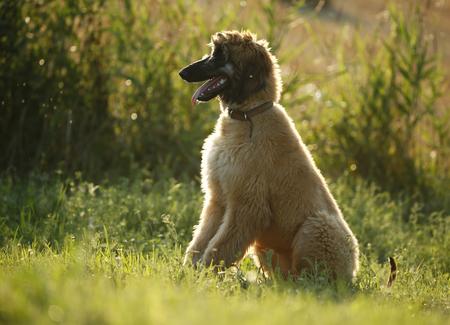 Afghan hound, puppy, sitting on a meadow