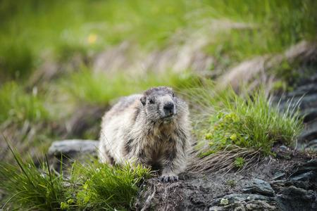 Austria, Carinthia, Kaiser-Franz-Josefs-Hoehe, curious alpine marmot (marmota marmota)