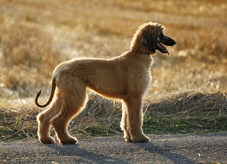 Afghan hound, puppy, standing in front of a stubble field