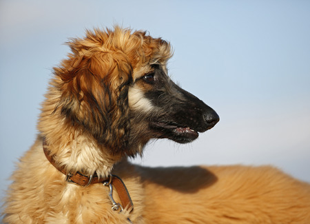 Portrait of afghan hound in front of sky, puppy LANG_EVOIMAGES