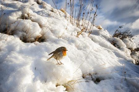 UK, Scotland, Isle of Skye, European Robin (Erithacus Rubecula) sitting on snow in the sun