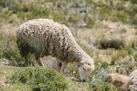 South America, Bolivia, Laka Titicaca, Sheep grazing on a meadow LANG_EVOIMAGES