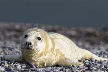 Germany, Helgoland, Duene Island, Grey seal pup (Halichoerus grypus) lying at shingle beach LANG_EVOIMAGES
