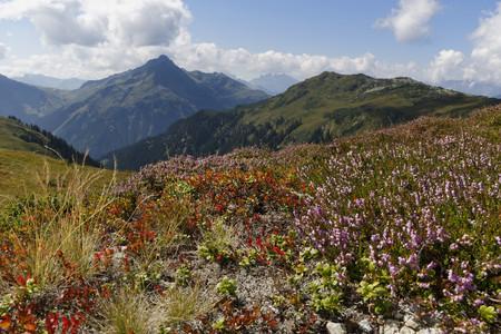Austria, Vorarlberg, Verwall Alps, Meadow with Heather (Calluna vulgaris) at Sonnenkopf, in teh background left Hochjoch