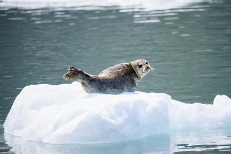 USA, Alaska, Seward, Resurrection Bay, harbour seal (Phoca vitulina) lying on an ice floe