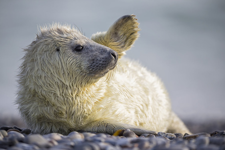 Germany, Helgoland, Duene Island, Grey seal pup (Halichoerus grypus) lying at shingle beach LANG_EVOIMAGES