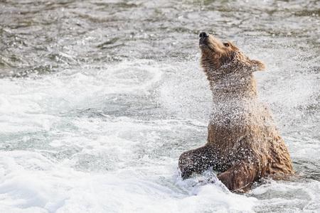 USA, Alaska, Katmai National Park, Brown bear (Ursus arctos) at Brooks Falls and shaking body LANG_EVOIMAGES