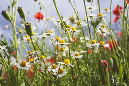 Meadow of red poppies (Papaver rhoeas) and German chamomile (Matricaria chamomilla)