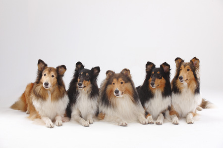 Rough Collies, male and bitches