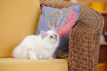Sacred cat of Birma, lilac-tabby-point, sitting on basket-chair