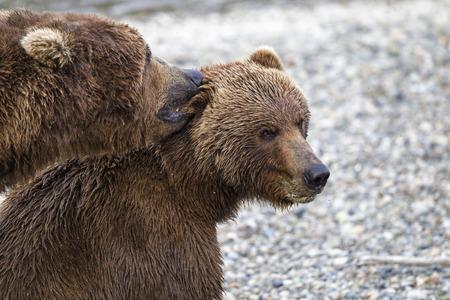 USA, Alaska, Katmai National Park, Brown bears (Ursus arctos) mating