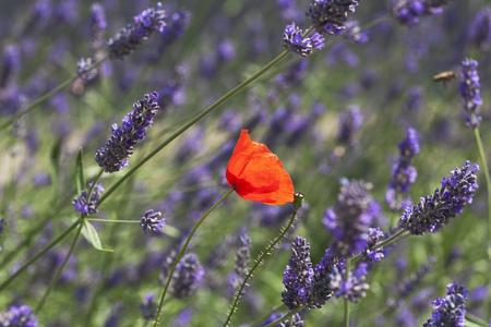 Germany, North Rhine-Westphalia, Cologne, Corn Poppy (Papaver rhoeas) and Lavender (Lavendula)