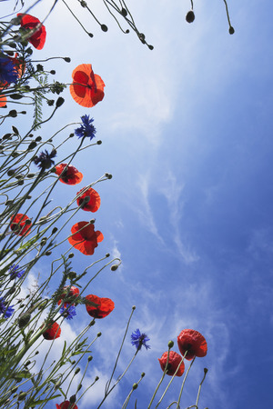 Blossoms of red poppies (Papaver rhoeas) and cornflowers (Centaurea cyanus), view from below