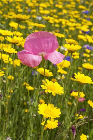 Germany, Rhineland-Palatinate, Pink Iceland poppy (Papaver nudicaule), blue cornflower (Centaurea cyanus), yellow corn marigold (Glebionis segetum) LANG_EVOIMAGES
