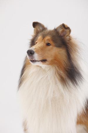 Rough Collie, male, portrait