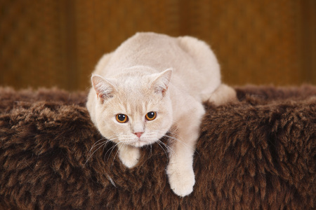 British Shorthair Cat lying on brown faux fur