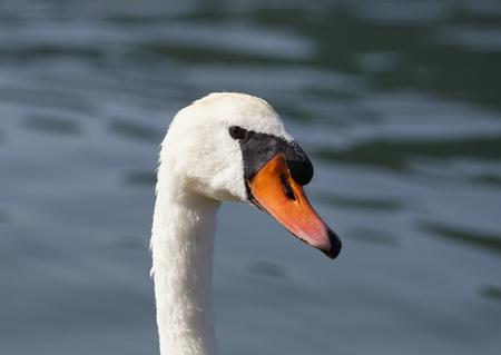 Mute swan (Cygnus olor), Lake Schliersee, Bavaria, Germany LANG_EVOIMAGES