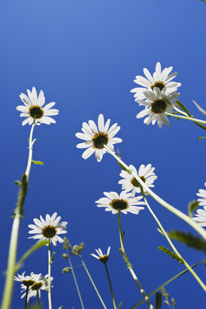 Marguerites (Leucanthemum) in front of blue sky, view from below