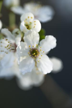 Twig with blossoms of cherry-plum (Prunus cerasifera)