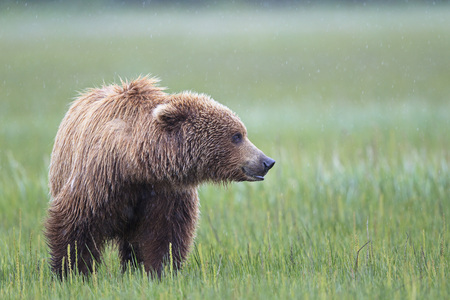 USA, Alaska, Lake Clark National Park and Preserve, Brown bear (Ursus arctos)
