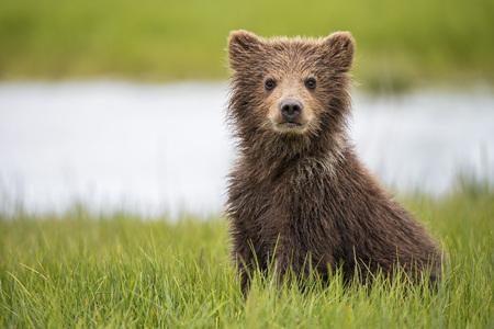 USA, Alaska, Lake Clark National Park and Preserve, Brown bear cub (Ursus arctos) sitting on meadow LANG_EVOIMAGES