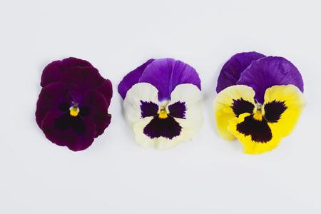Three pansies (Viola) on white background