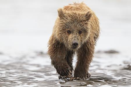 USA, Alaska, Lake Clark National Park and Preserve, Brown bear cub (Ursus arctos)