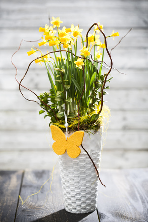 Daffodil (Narcissus pseudonarcissus) in a vase