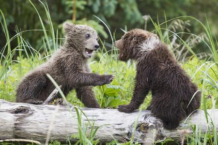USA, Alaska, Lake Clark National Park and Preserve, Playing Brown bears (Ursus arctos), young animals