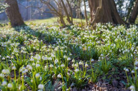 Germany, Mecklenburg-Western Pomerania, Ruegen, spring snowflake flowers (Leucojum vernum)