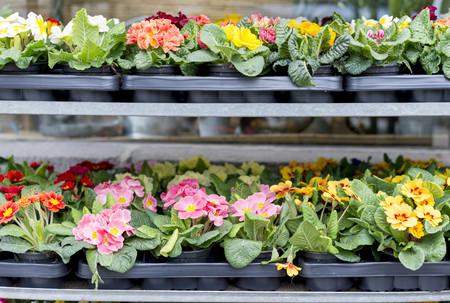 Pallets of primroses at market LANG_EVOIMAGES