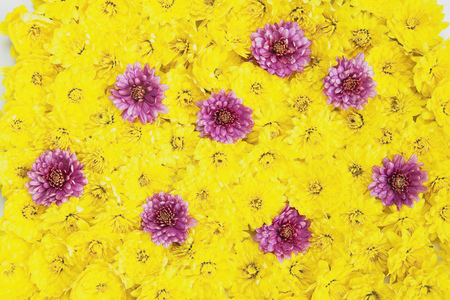 Eight pink blossoms of chrysanthemum in between many yellow flower heads