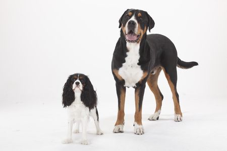 Greater Swiss Mountain Dog, male, and Cavalier King Charles Spaniel, bitch, tricolour
