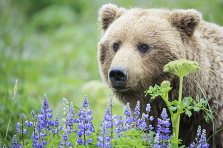 États-Unis, Alaska, Parc national et réserve de Lake Clark, Ours brun (Ursus arctos) et lupins LANG_EVOIMAGES