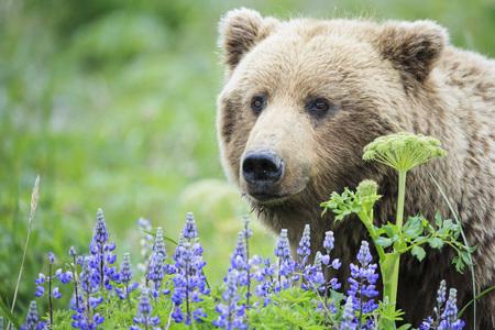 USA, Alaska, Lake Clark National Park and Preserve, Brown bear (Ursus arctos) and lupines