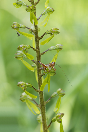 Germany, Bavaria, Upper Bavaria, Isarauen, Common Twayblade (Listera ovata) and a larva of grasshopper LANG_EVOIMAGES