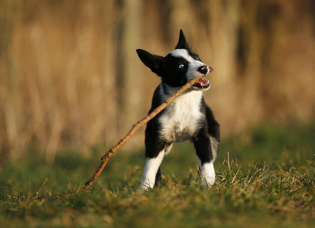 Border Collie puppy playing with a stick on a meadow