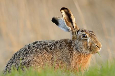Germany, Schleswig-Holstein, Hare, Leporidae