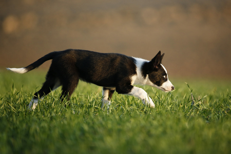Border Collie puppy running on a meadow