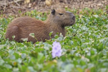 South America, Brasilia, Mato Grosso do Sul, Pantanal, Capybara, Hydrochoerus hydrochaeris, Water hyacinth, Eichhornia